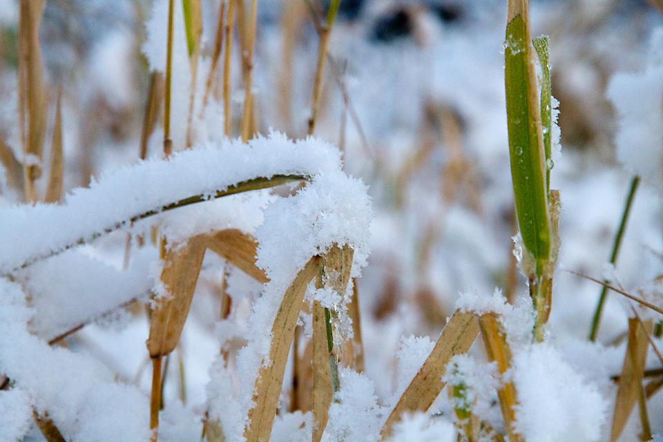 I lavlandet stikker rimdekket gress fortsatt opp fra snøen. Jeg må opp i høyden.