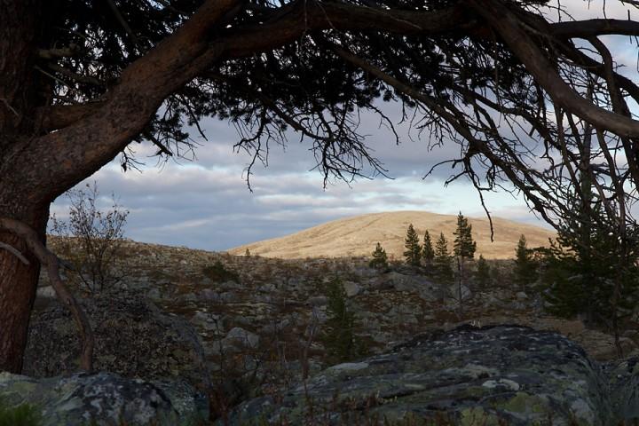 Furu og snaufjell i området ved Revsjøen.