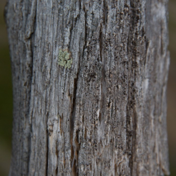 En tørrfuru uten det karrakteristiske vridde mønstret. Tørrfurua er viktig for naturen, så ikke putt disse på bålet selv om det frister aldri så mye.