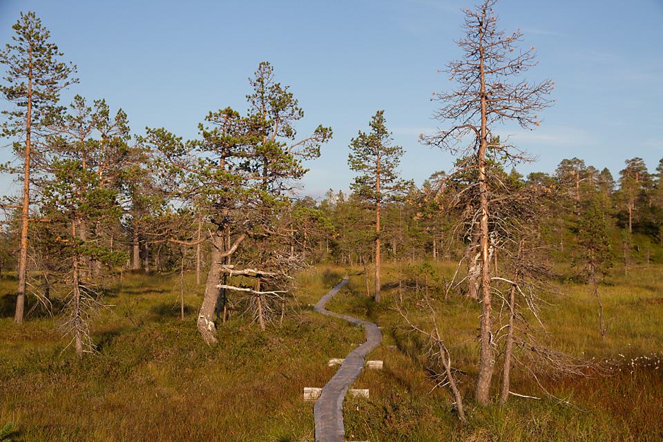 Det er en del myr på vei inn i Ånderdalen nasjonalpark. Heldigvis er det laget klopper over de våteste partiene.