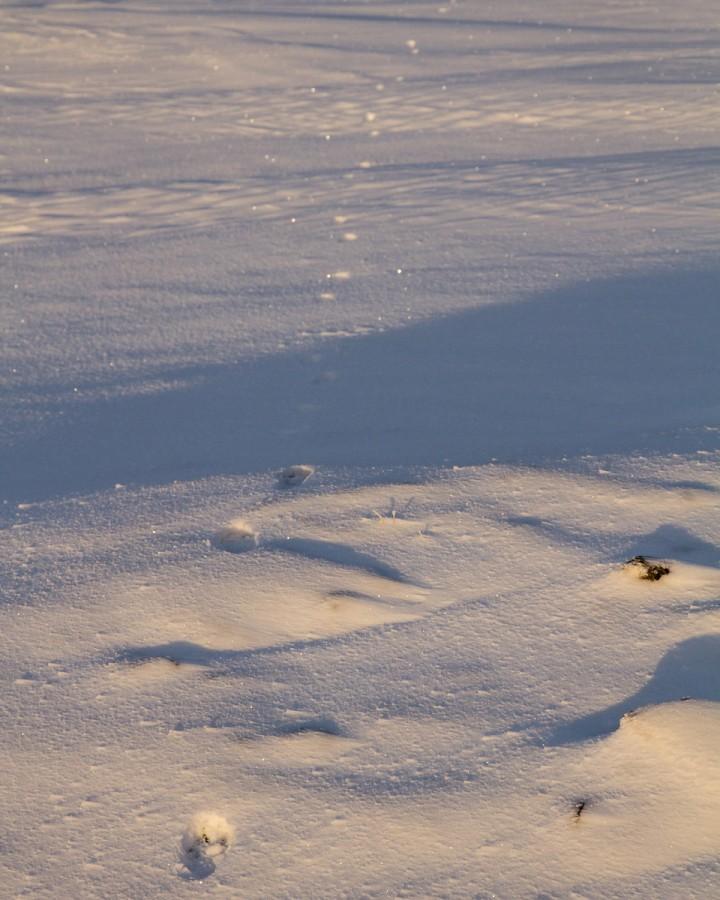 Dyret la i vei i nordlig retning, og forandret ikke kurs på en kilometer.