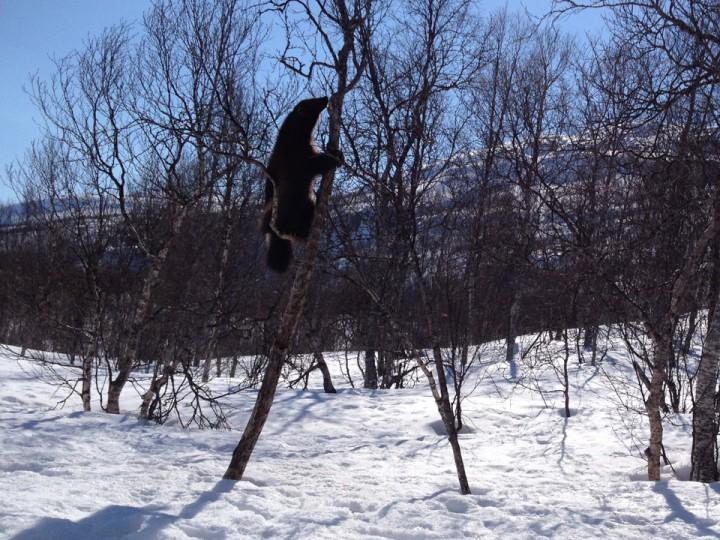 Jerven i Polarpark holdt oppvisning for elevene.