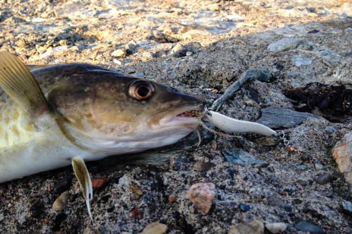 Det ble mye bifangst av torsk i løpet av året.