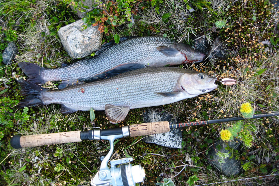 På langtur gjennom Øvre Dividal Nasjonalpark sørget du for rikelig med Harr til middagen. Det ble den eneste gangen slik fisk er forsøkt som mat. 2 munnfuller, og så ble resten gravd ned.