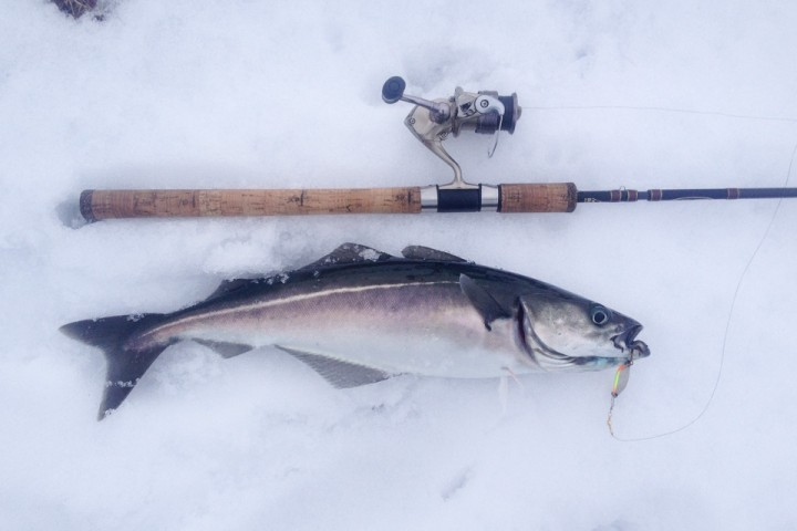 Fisken holder seg godt når den blir lagt på is rett fra sjøen.