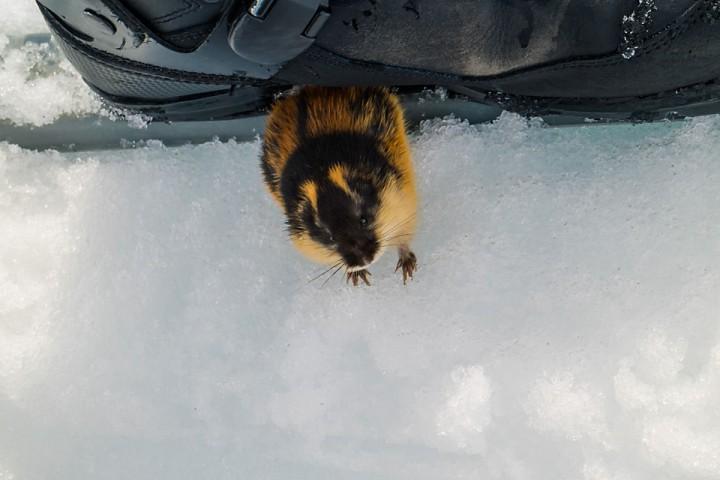Det er mye lemmen å se i Tromsfjellene i år. Det lover godt for småviltjakta til høsten. Denne krabaten søkte tilflukt under skoene mine.