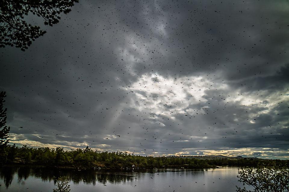 Med varmt og fuktigt vær våknet myggen til liv ved Muggsjøen.