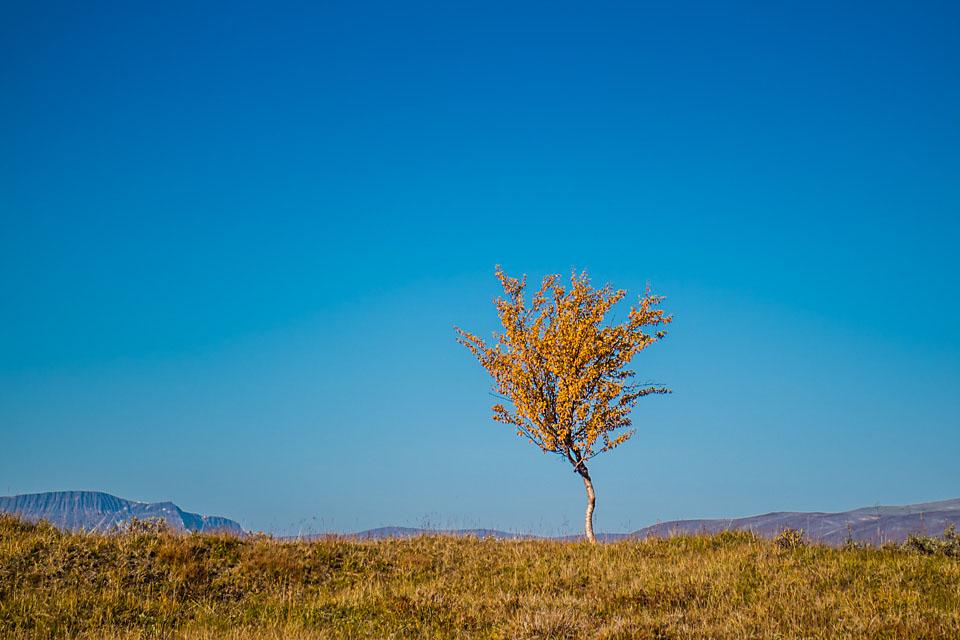 En enslig bjørk i høstfarger har forvillet seg langt til fjells.