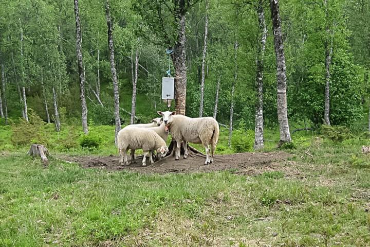 Når gaupa forlot terrenget ble sauene rolige igjen.