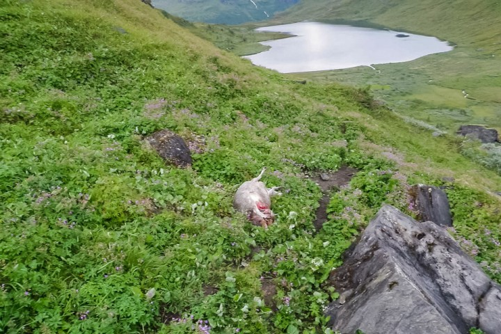 Jeg stod sannsynligvis nede ved vannet og dro opp en ørret da Bjørnen forsynte seg av saueflokken.