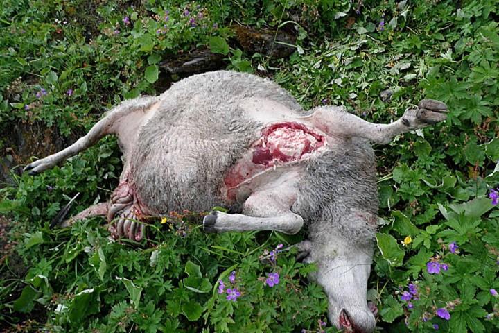 Ferskt kjøtt tyder på at det ikke er lenge siden bamsfar har spist brystfettet og juret.