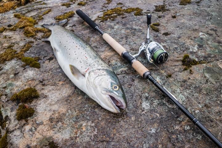 Ukas matfisk: En sprek og passe feit sjøørret på 2,4 kilo fra Målselvfjorden.