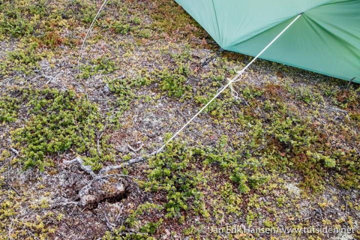 Neste morgen ser jeg at bardunene har revet opp røttene jeg festet de i under nattens vindkast.