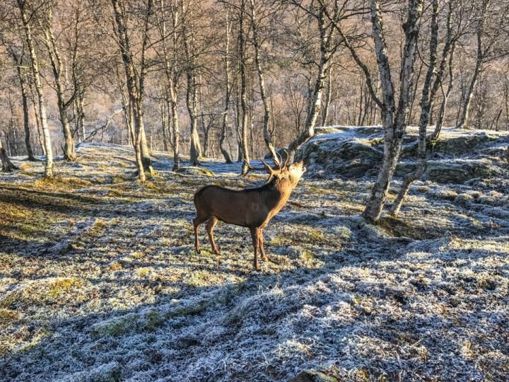 Oskar, som hjorten i Polarpark heter, var rimelig høylytt om dagen og prøvde å jage alle som kom for nære kollene.